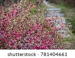 Small photo of Purple Knight (Alternanthera dentata)