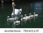 Swan With Six Cygnets