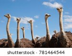 Group Of Young Common Ostrich ...