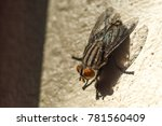 housefly or musca domestica... | Shutterstock . vector #781560409