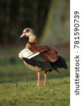 Small photo of Egyptian Goose (Alopochen aegyptiacus) sitting on a meadow.
