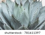 big green succulent plant with...   Shutterstock . vector #781611397