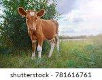 Calf On A Green Sunny Meadow ...