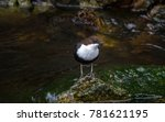 white throated dipper by a river | Shutterstock . vector #781621195