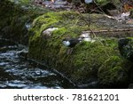white throated dipper by a river | Shutterstock . vector #781621201