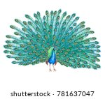 peacock bird with lush tail... | Shutterstock . vector #781637047