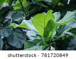 Small photo of green Ficus Pandurata leaves on branch