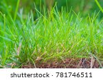 growing green young grass | Shutterstock . vector #781746511