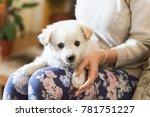 Stock photo samoyed puppie portrait 781751227