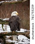 Bald Eagle Is Perched On A Dea...
