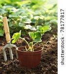 strawberry plant in pot | Shutterstock . vector #78177817