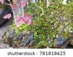 beautiful bonsai tree in the...   Shutterstock . vector #781818625