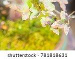 beautiful bonsai tree in the...   Shutterstock . vector #781818631