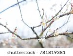 close up of the blooming branch ...   Shutterstock . vector #781819381