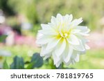beautiful white flower in the...   Shutterstock . vector #781819765