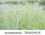 beautiful purple flower in the...   Shutterstock . vector #781819915