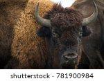 American Bison  Buffalo ...