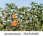 safflower  carthamus tinctorius ...   Shutterstock . vector #781919485