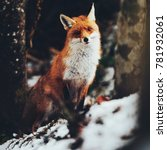 Beautiful Red Fox Portrait In...