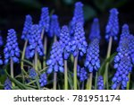 Grape Hyacinth Or Blue Muscari...