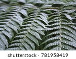Frosty Winter Ferns