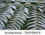 Frosty Winter Ferns