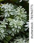 common rue branch on medicinal... | Shutterstock . vector #781963771