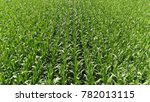 Small photo of Aerial view of fresh green field with maize plants also known as corn cereal grain that has become a staple food in many parts of the world with total production surpassing that of wheat or rice