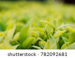 leaf green shoot with green... | Shutterstock . vector #782092681