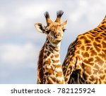 Stock photo massai giraffe calf two weeks old standing close to mother for safety security large eyes 782125924