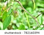 Physalis Angulata  Or  Physalis ...