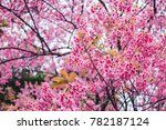 soft focus  beautiful cherry... | Shutterstock . vector #782187124