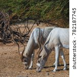 Curved Horned Antelope Addax ...