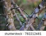 Thorns In Old Lemon Tree Trunk