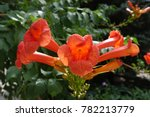 large trumpet shaped flowers of