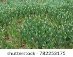 spring field of blooming tulips. | Shutterstock . vector #782253175