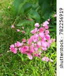 pink coral vine flowers and... | Shutterstock . vector #782256919