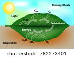 photosynthesis and cellular... | Shutterstock .eps vector #782273401