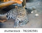 Jaguar Resting On A Beach...