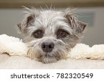 cutel little mixed terrier... | Shutterstock . vector #782320549