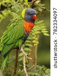 close up of coconut lorikeet  | Shutterstock . vector #782334097