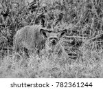 a pair of bat eared foxes in... | Shutterstock . vector #782361244