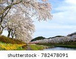 Small photo of The Cherry blossoms or sakura trees along the bank of Natsuigawa River in Ono town, Fukushima prefecture. This place is famous during the spring when all 1,000 cherry trees are in bloom.