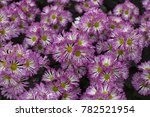chrysanthemum in shallow depth... | Shutterstock . vector #782521954