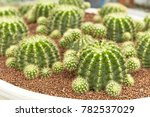 thermal plants cactus plant... | Shutterstock . vector #782537029