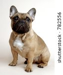 danya  french bulldog | Shutterstock . vector #782556