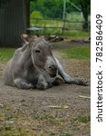 Lazy Grey Donkey Lying On The...