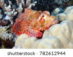The Tasseled Scorpionfish  Or...