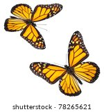 Stock photo two perfectly white isolated monarch butterflies 78265621