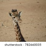 Young And Curious Giraffes...